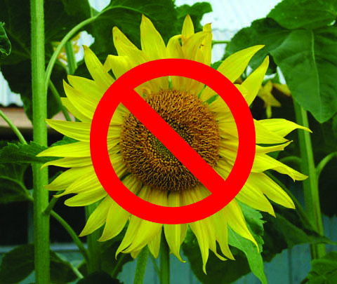 no sunflowers